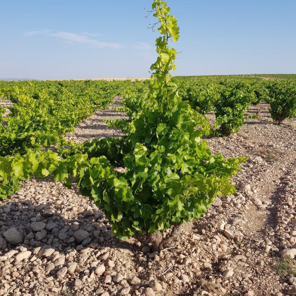 Bodegas Tempore, wijngaard 3 | biowijn.shop