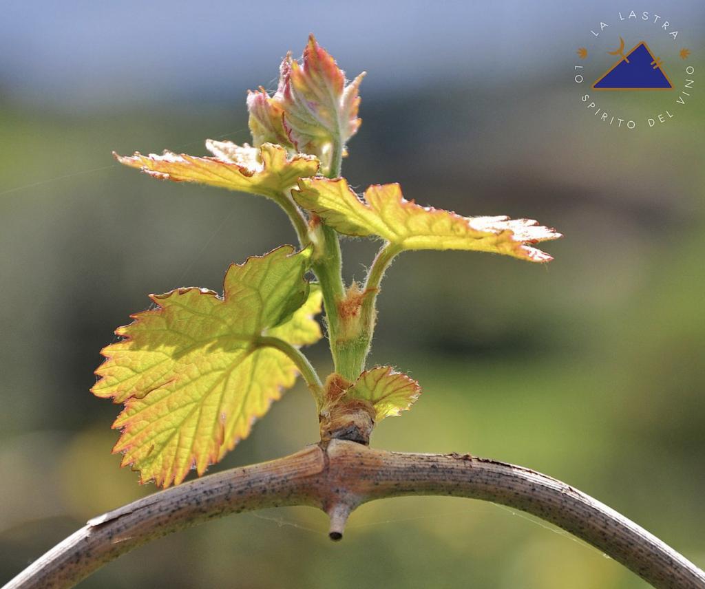 La Lastra wijnrank (8) Biowijn.shop